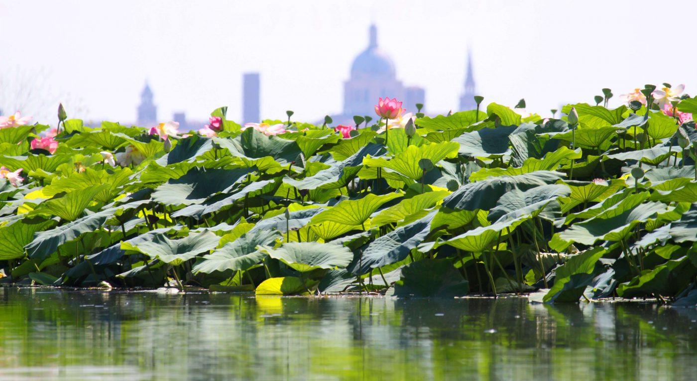 citta-fiori-loto