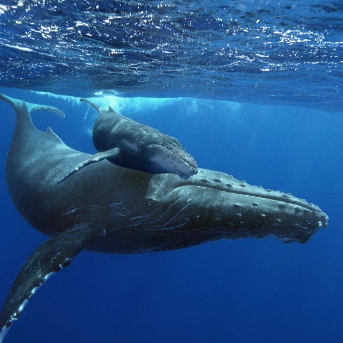 balena-fitoplancton-cacca-ossigeno