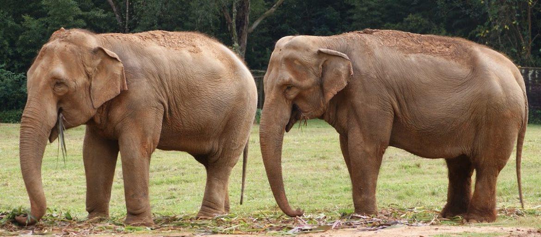 due elefanti INDIA