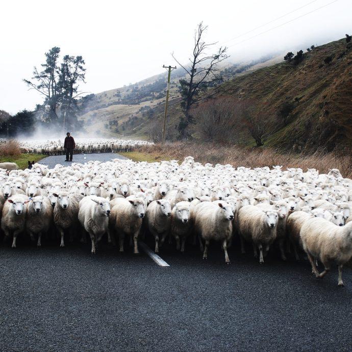 pecore- pastore- transumanza