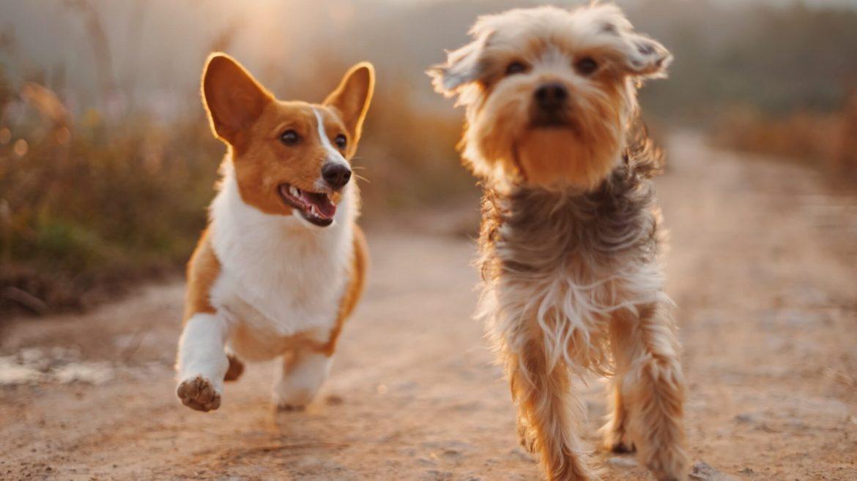 """""""Home alone, your doggie podcast"""": il primo podcast al mondo solo per cani"""